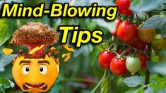 In this video I taking you through everything you need to know to grow tomatoes. in this mind-blowing guide, you will learn all the tips and tricks to growin. Saving Tomato Seeds, Comfrey Tea, Slug Control, Grow Tomatoes, Soil Improvement, Grow Organic, Fruit And Veg, Grow Your Own, Growing Vegetables
