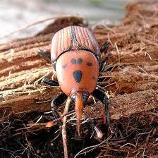 Resultado de imagen para escarabajos egipcios verdes