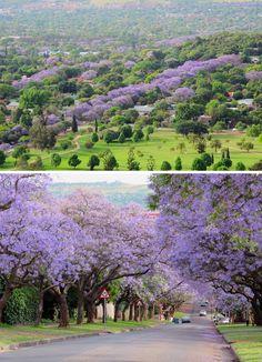 Sjoesjoe in Africa: Jacaranda trees Pretoria