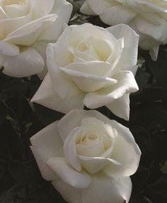 Hybrid Tea Rose (Sugar Moon)