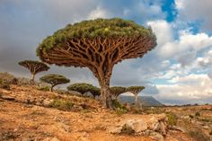 Dragon Blood Tree, Dragon Tree, Arabian Sea, Unusual Plants, Beautiful Places In The World, Amazing Places, Beautiful Scenery, Amazing Things, Beautiful Things