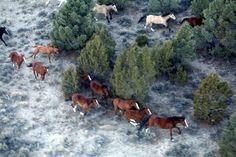 Wild Horses Saved By Billionaire's Wife - Madeleine Pickens, wife of billionaire T. Boone Pickens plans to turn her Elko Nevada ranch into a wild horse sanctuary. These beauties were on a feedlot in Fallon NV getting ready to be shipped to Canada for slaughter when she paid over $30,000 for them!
