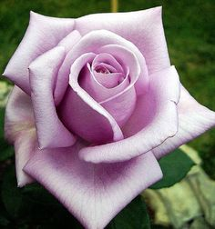 Rare Purple Rose Seeds Flower Bush Perennial Shrub Garden Home Exotic Home Yard Grown Party Wedding Bi Color Bright Beautiful Tropical by PetalAndThornSeeds on Etsy Beautiful Rose Flowers, Exotic Flowers, Amazing Flowers, Rose Tattoos, Flower Tattoos, Gif Kunst, Rose Reference, Realistic Rose, Rosa Rose