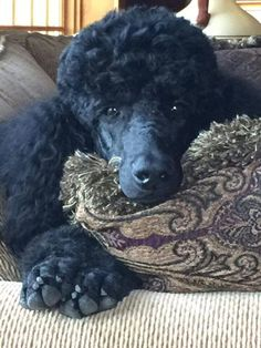 Find Out More On The Eager Poodle Dog Dog breeds of all kinds. Different characteristics of different breeds. Positive Dog Training, Training Your Dog, I Love Dogs, Cute Dogs, Funny Dogs, Sweet Dogs, Bulldog Breeds, Pet Breeds, Poodle Grooming