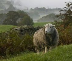 A Herdwick Sheep in the Lake District, United Kingdom -- I don't even know why I'm posting this to my Barn homes category. I do remember sheep being sheared in the middle of our barn, though. If we get sheep again, this could be my landscaping. Lord Is My Shepherd, The Good Shepherd, Farm Animals, Animals And Pets, Cute Animals, Wooly Bully, Baa Baa Black Sheep, Sheep Art, Counting Sheep