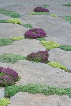 Various types of thyme growing between flagstone.