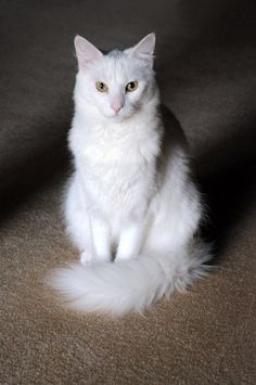 Looks just like Riot! He's my little Turkish Angora