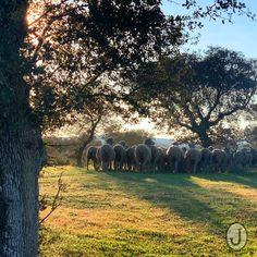 Oveja merina Spain, Elephant, Animals, Sheep, Animales, Animaux, Sevilla Spain, Elephants, Animal