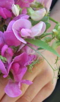 "Perennial sweetpeas  Gotta plant these for my ""Sweetpea"""