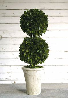 """This 20"""" preserved boxwood topiary plant is placed in an ivory-washed terra cotta pot. HDA's preserved greens are hand-made using only the finest quality material; you will not find a better-looking product. The boxwood found in our topiaries is real boxwood that has been preserved to maintain a lush green color and many years of enjoyment."""