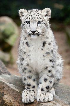 Snow Leopard Cub (by A.J. Haverkamp)