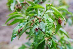 Kadeřavost broskvoní je nejzávažnější houbovou chorobou těchto ovocných stromů. Mnoho zahrádkářů se jí velmi obává, protože často zničí nejen listy a letorosty, ale pro mladé stromky může znamenat definitivní konec. Agriculture Biologique, Hibiscus, Plant Leaves, Vegetables, Questions, Blog, Gardens, Falling Leaves, Apricot Tree