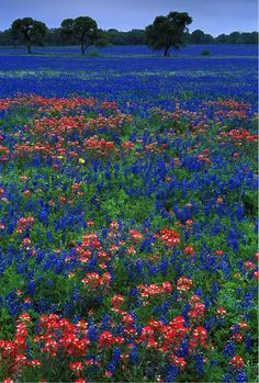 Texas bluebonnets and Indian paintbrush. Indian paintbrush are my favorite :) Beautiful World, Beautiful Places, Simply Beautiful, Indian Paintbrush, Image Nature, Texas Bluebonnets, Blue Bonnets, Beautiful Landscapes, Wild Flowers