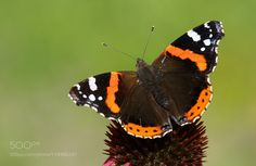 Red Admiral (Vanessa atalanta) by yurich88 #nature #photooftheday #amazing #picoftheday