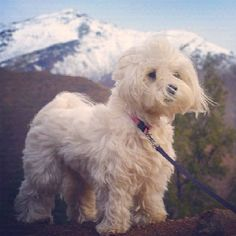 Maltese in the mountains