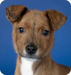 Chicago, IL - American Pit Bull Terrier/Labrador Retriever Mix. Meet Turbo a Puppy for Adoption.