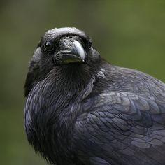dark-raven:  beasts-of-prey:   raven   Need I say anyhting else?