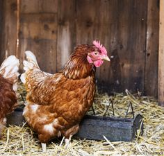 Admit it: Raising chickens is fun, but cleaning the coop can be a hassle.
