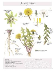 Dandelion I.D. // Illustration from Foraging & Feasting: A Field Guide and Wild Food Cookbook