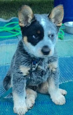 The stink eye is strong with this young one Aussie Cattle Dog, Austrailian Cattle Dog, Cute Puppies, Cute Dogs, Dogs And Puppies, Gado, Reptiles, Accesorios Casual, Dog Rules