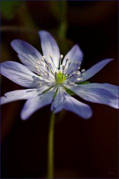 'Hepatica, blau' von lisa-glueck bei artflakes.com als Poster oder Kunstdruck $18.03