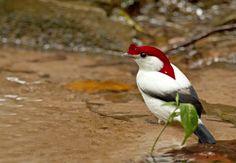 Soldadinho-do-Araripe-no-banho.jpg 1.000×694 pixels