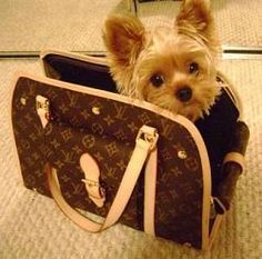 yes, please! yorkie in louis vuitton carrier