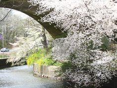White Blossom Covered Bridge in Cherry Blossom Park photo by Virginia Varela