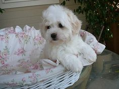Coton de Tulear Puppies by mydarlingdogs.com, via Flickr