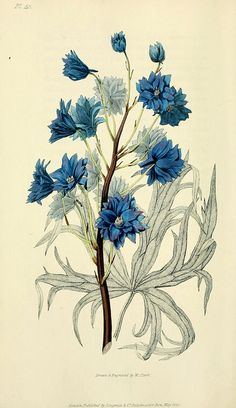 Botanical Print Art Beautiful Blue Delphinium Flower Plant Antique Illustration Plate Home Room Wall Decor to Frame Delphinium Flowers, Delphiniums, Blue Flowers, Vintage Botanical Prints, Botanical Drawings, Botanical Flowers, Botanical Art, Antique Pictures, Arte Floral