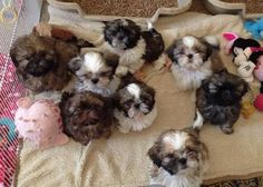 Shitzu Puppies, Cute Puppies, Cute Dogs, Spaniel Puppies, Bichon Frise, Boxer Puppies, Beagle Dog, Puppys, Animals And Pets