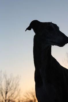 Sarah Regan Snavely's Greyhound Winchester