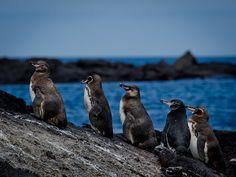 Galapagos Penguins, Galapagos Islands