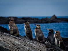 Galapagos Penguins, Galapagos Islands