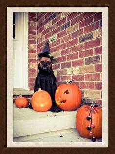 Boxer dog Halloween Roxy!!!