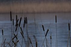 GeAr_20070124_0022.jpg (Gert Arijs) Tags: belgium limburg ijs genk typha lisdodde dematen
