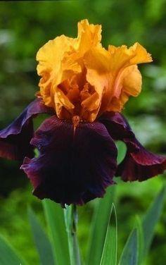 Почему ирисы не цветут. 5 причин   Дачный сад и огород