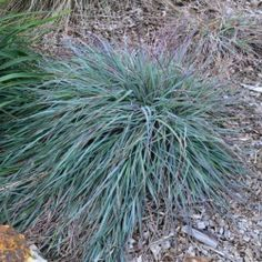 'Mingo' Themeda is a ground cover Kangaroo Grass with blue foliage rusty red/brown seed heads over summer. Online Nursery, Australian Plants, Ground Cover Plants, Home Landscaping, Plants Online, Garden Care, Ornamental Grasses, Exotic Plants, Native Plants