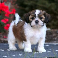 Teddy Bear Puppies for Sale - Shichon Puppies Cute Small Dogs, Cute Baby Dogs, Cute Dogs And Puppies, Doggies, Shichon Puppies For Sale, Mixed Breed Puppies, Teddy Bear Puppies, Teddy Bears, Miniature Dog Breeds