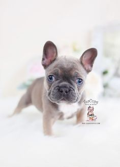 French Bulldog Rescue Network Georgine In Nj Foster Dog