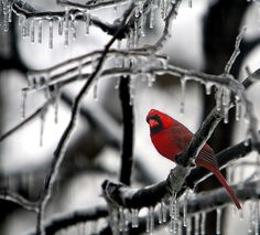 ICE PALACE Everyday in the winter we have Cardinals in the trees and bushes in our backyard. My Ohio, The Buckeye State, State Birds, Cardinal Birds, Winter Scenes, Cardinals, Beautiful Birds, Winter Wonderland, Wildlife