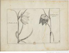 [Fritillaire]; Hortus Floridus : in quo rariorum & minus vulgarium Florum icones ad vivam veramque formam / Crisp: Passei junioris, 1614