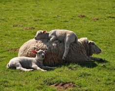 Nap time... #sheep #lamb #animals   http://animalsafari.com/MO/