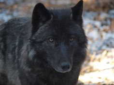 By Chuck Ashley, via flickr Beautiful Wolves, Beautiful Dogs, All About Wolves, German Shepherd Husky, Wolf World, Wolf Photography, Wildlife Photography, Timber Wolf, Wolf Love