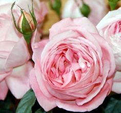 #Voyage.  Order them online @ www.parfumflowercompany.com or go visit your florist.