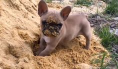 This French Bulldog Puppy Playing In The Sand Is The Cutest Thing Ever! http://www.pawbuzz.com/french-bulldog-puppy-playing-in-sand/2/#utm_sguid=153921,f24c7c57-5afe-beba-e17d-39c0e90874d8