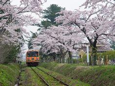 #japan #aomori #cherryblossoms 芦野公園