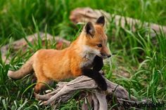 Litle animal #babyfox #littlefox #cutefox #sweetfox #funnyfox #babyanimals #cuteanimals #sweetanimals