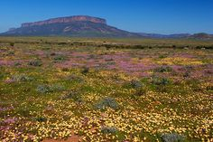 If you think Africa is all about the desert, you should meet Namaqualand, on the border of South Africa and Namibia. After the rain period in August, lots of daisies bloom in this famously arid place. It's a pretty sight! South African Flowers, Western Coast, All Nature, Rest Of The World, Kayaking, Wild Flowers, Places, Travel, Daisies