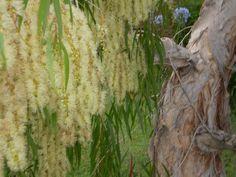 Melaleuca leucadendra (syn Melaleuca leucadendron)  Weeping Teatree, Cajeput Tree.